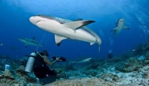 Акулы на Мальдивах или Чего Стоит Бояться